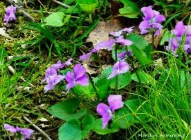 180-Violets_05032020_0033