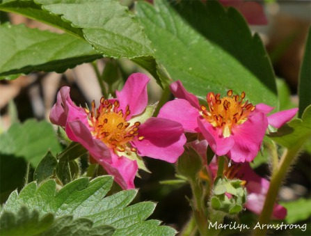 180-Wild-Strawberry-May-Garden-052020_021
