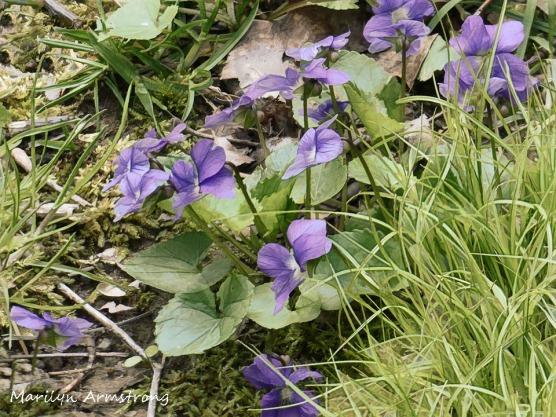 180-Wild-Violets_05032020_0040