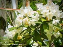 180=Rhododendrons-May-Garden-052020_013
