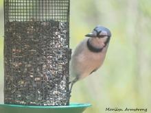 300-blue-jay-birds_05072020_0010