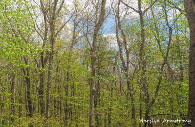300-bright-leaves-spring-woods_05152020_008