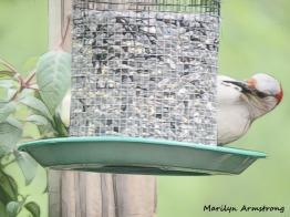 300-graphic-woodpecker-fuchsia_052320_084