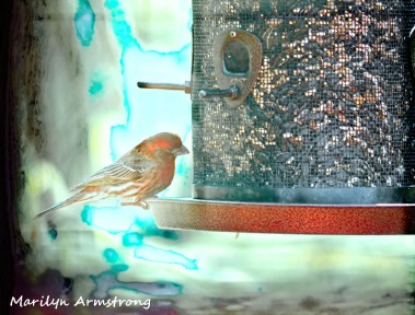 300-house-finch-birds-mid-may_05132020_014