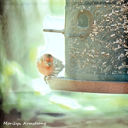 300-house-finch-birds-mid-may_05132020_016