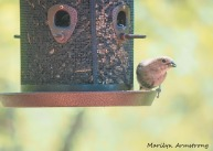 300-Red Finch-birds-mid-may_05132020_023