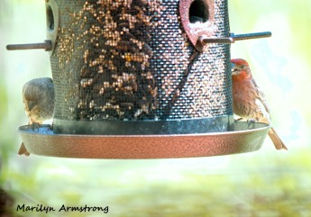 300-pair-of-house-finch-birds-mid-may_05132020_042