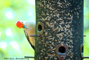 300-red-bellied-woodpecker_05152020_001