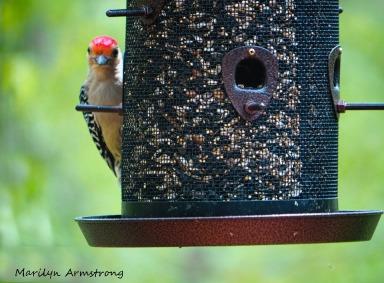 300-red-bellied-woodpecker_05152020_037