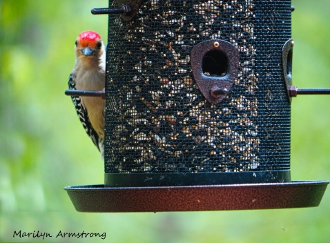 300-red-bellied-woodpecker_05152020_037