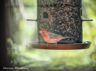 300-red-house-finch-birds-mid-may_05132020_006