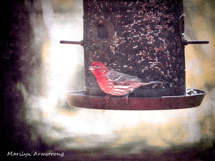 300-red-house-finch-birds-mid-may_05132020_007