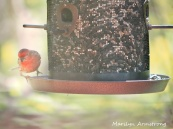 300-red-house-finch-birds-mid-may_05132020_015