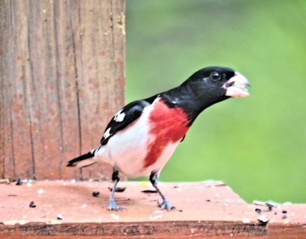 300-rose-breasted-grosbeak_05172020_102