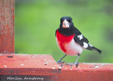 300-rose-breasted-grosbeak_05172020_175