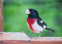 300-rose-breasted-grosbeak_05172020_176