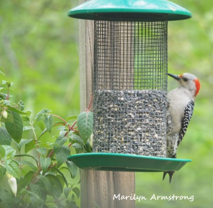 300-sqiare-woodpecker-fuchsia_052320_013