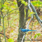 300-square-blue-jay-in-a-tree_05162020_002