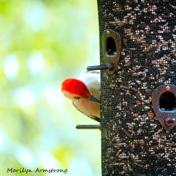 300-square-red-bellied-woodpecker_05152020_005