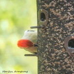 300-square-red-bellied-woodpecker_05152020_009