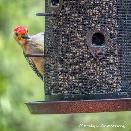 300-square-red-bellied-woodpecker_05152020_036