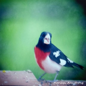 300-square-rose-breasted-grosbeak_05172020_174