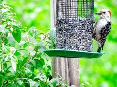 300-woodpecker-fuchsia_052320_045