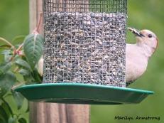 300-woodpecker-fuchsia_052320_085