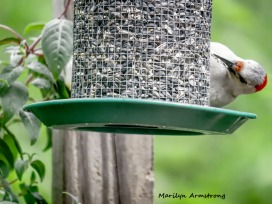 300-woodpecker-fuchsia_052320_090