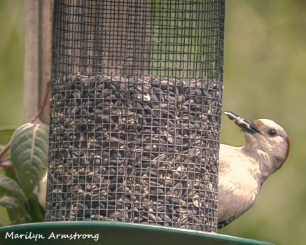 300-woodpecker-fuchsia_052320_092