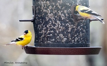 Two Goldfinch in full color