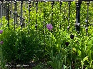 72-Tulips-iphone-Mumford-Dam_052220_042