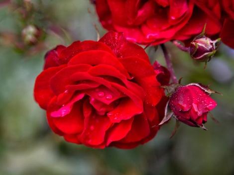 Roses, Cottage garden, Bason Botanic Gardens, Whanganui. Image: Su Leslie 2019