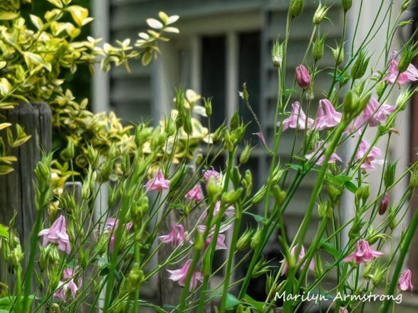 180-Columbine-Mid-June-Garden_061520_031