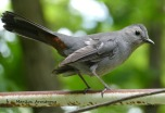 Capped Gray Catbird
