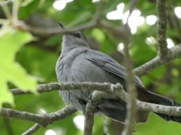 Capped Gray Catbird