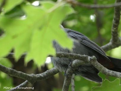 180-New-Headless-Catbird-Mid-June-Garden_061520_022
