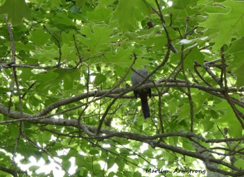 180-Oak-Headless-Catbird-new-Mid-June-Garden_061520_020