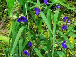 180-Spider-wort-Mid-June-Garden_061520_036