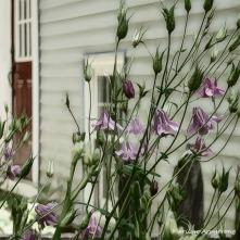 180-Square-Columbine-Mid-June-Garden_061520_007
