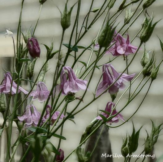 180-Square-Columbine-Mid-June-Garden_061520_008