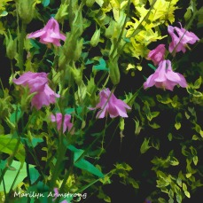 180-Square-Columbine-Mid-June-Garden_061520_038