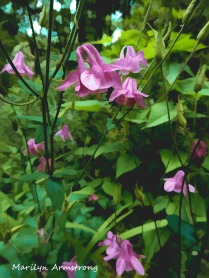 180-Vertical-Columbine-Mid-June-Garden_061520_041