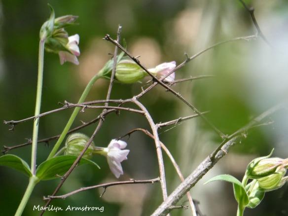 180-White-Flowers-Mid-June-Garden_061520_011