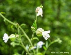 180-White-Flowers-Mid-June-Garden_061520_043