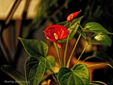 300-2-philodendron-flowers_061820_003