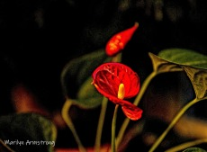 300-3-philodendron-flowers_061820_001