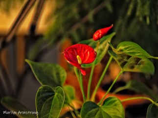 Philodendron flower - 4