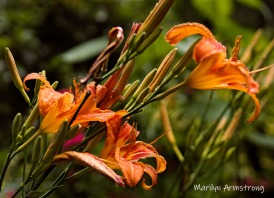 300-post-rain-daylilies_062720_082