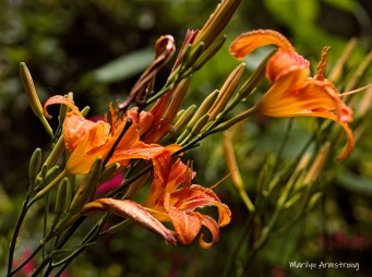 300-rainy-daylilies_062720_082